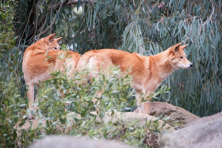 Les dingos
