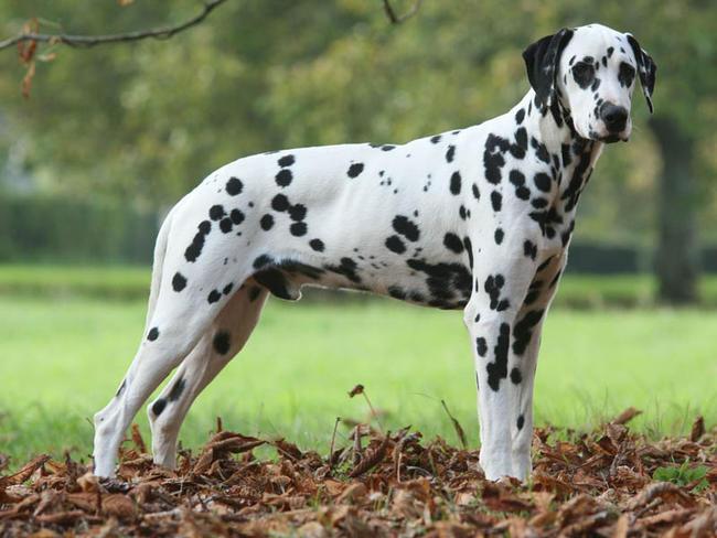 dalmatien-Sociéte-protectrice-des-animaux-