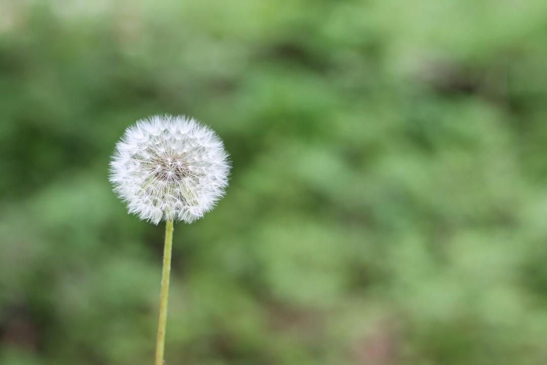 dandelion-allergie-naturopathie