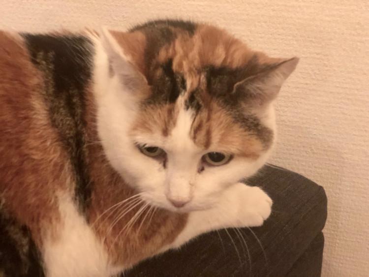 Sigma un des chat du café le chat gourmand à Montpellier